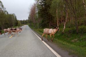 Rentier_Nord-Norwegen